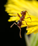 Red ant on a yellow flower Stock Images