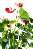 Red anthurium Royalty Free Stock Images