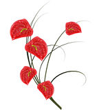 Red anthurium. Royalty Free Stock Photography