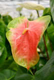 Red anthurium Stock Images