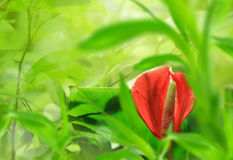 Red anthurium background Stock Images