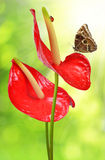 Red anthurium with butterfly Royalty Free Stock Image