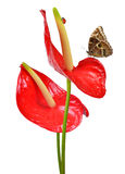 Red anthurium with butterfly Stock Photography