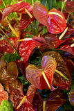 Red Anthurium, flamingo flower Royalty Free Stock Photography