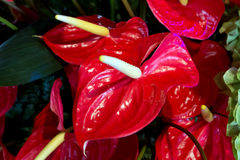 Red Anthurium, flamingo flower Stock Photography