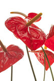 Red anthurium (Flamingo) flowers Stock Photography