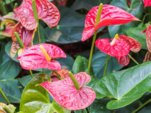 Red Anthurium flower Stock Images