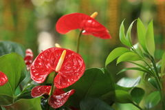 Red anthurium flower in botanic garden Stock Photos