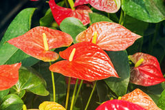 Red Anthurium flower Royalty Free Stock Photography