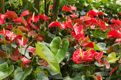Red anthurium Royalty Free Stock Photo