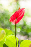 Red anthurium flower Royalty Free Stock Image