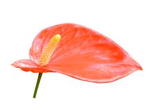 Red anthurium flower Royalty Free Stock Photos