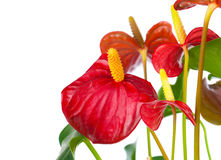 Red anthurium flower Royalty Free Stock Images