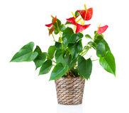 Red anthurium flower Stock Photos