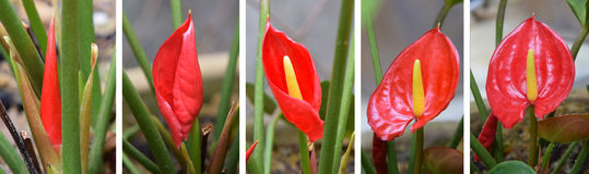 Red anthurium flower- Stages of growth Stock Photography