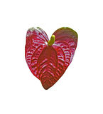 Red anthurium flower on white Stock Photography