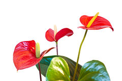 Red anthurium flowers. Three red anthurium flowers isolated with clipping path Royalty Free Stock Photos