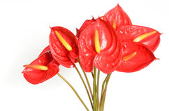 Red Anthurium flowers. Isolated on white background Stock Photo