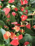 Red Anthurium flowers. Royalty Free Stock Images