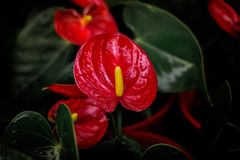 Red anthurium flowers in the garden. stock photography