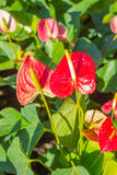 Red Anthurium flowers in the garden Royalty Free Stock Image
