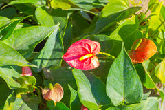 Red Anthurium flowers in the garden Stock Image