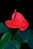 Red Anthurium flowers. Isolated on black Stock Photography