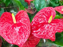 Red anthurium flowes tropical background. Several flowers of Anthurium Spice shot. Anthuriums: The red, heart-shaped stock image