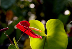Red Anthurium on Isolate. Anthurium  on isolate, Black background, Lighting is Backlight.Shape like Heart Stock Image