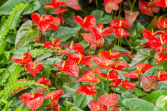 Red Anthurium lily Royalty Free Stock Images