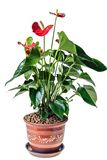 Red anthurium in a pot Stock Photography