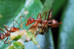 Red Ants. A couple of ants caught going around doing their businesses Royalty Free Stock Photography
