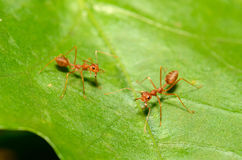 Free Red Ants Stock Photos - 25260153