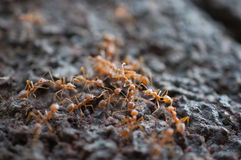 Red ants Royalty Free Stock Photos