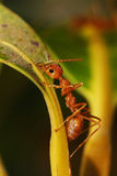 Red Ants. Full length macro shot of a fire red ant on a mango tree stock photos