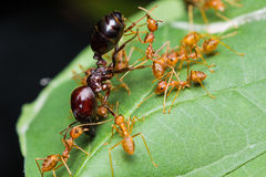 Red Ants army Stock Images
