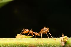 Red ants on the branches Royalty Free Stock Photo