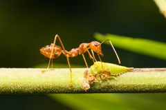 Red ants on the branches Royalty Free Stock Photos