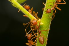 Red ants on the branches Royalty Free Stock Images