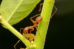 Red ants on the branches Stock Image