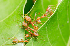 Red ants build home Royalty Free Stock Images