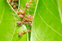 Red ants build home Stock Image