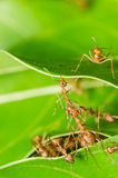 Red ants build home Stock Photos