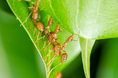 Red ants build home Stock Photography