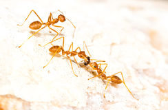 Red Ants carrying food Stock Photos