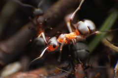 Red ants close up on natural background. Macro photo of ant worker royalty free stock image