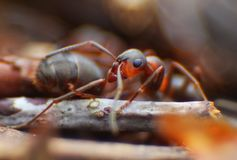 Red ants close up on natural background. Macro photo of ant worker stock photo