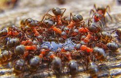 Red ants close up on natural background. Macro photo of ant worker royalty free stock photo