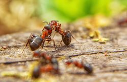 Red ants close up on natural background. Macro photo of ant worker royalty free stock photography