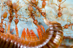 Red ants eat extraction Stock Photos